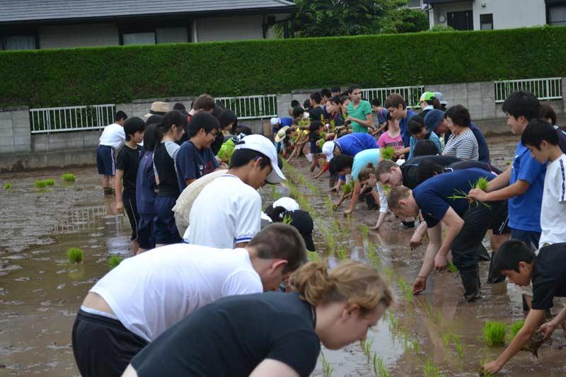 taue day rice planting