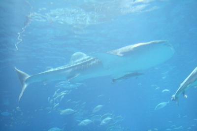 whale sharks at the Osaka Aquarium